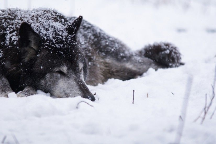 Preview wallpaper wolf, snow, blizzard, cold, warm, black white 2048x1152
