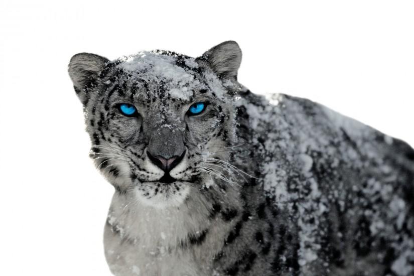 Snow Leopard wallpaper ·① Download free beautiful High