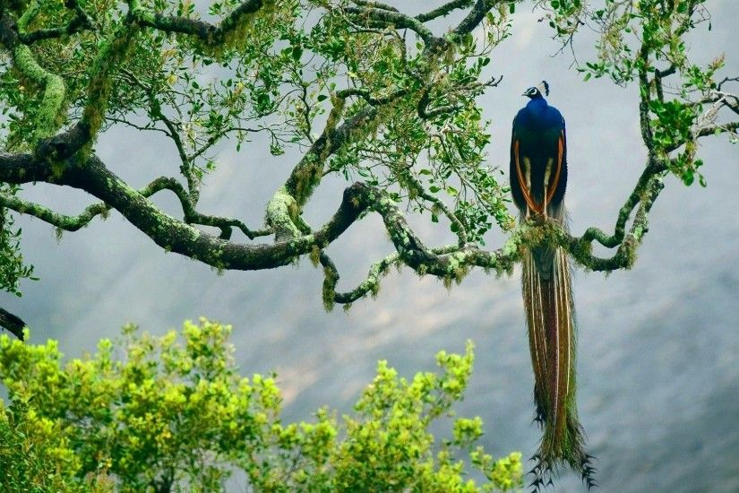 Peacock-bird-on-the-tree-wallpaper