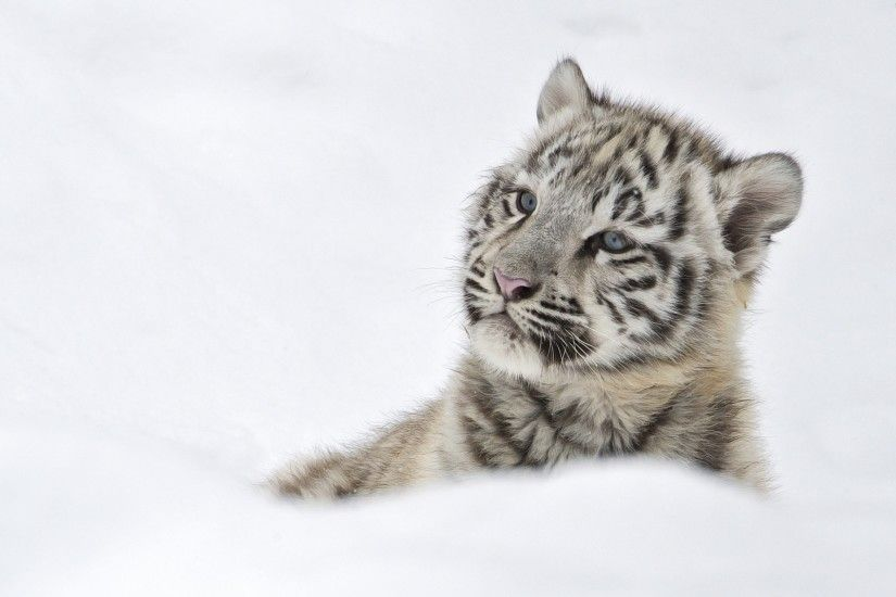 Cool white tiger cubs wallpaper - white tiger cubs category