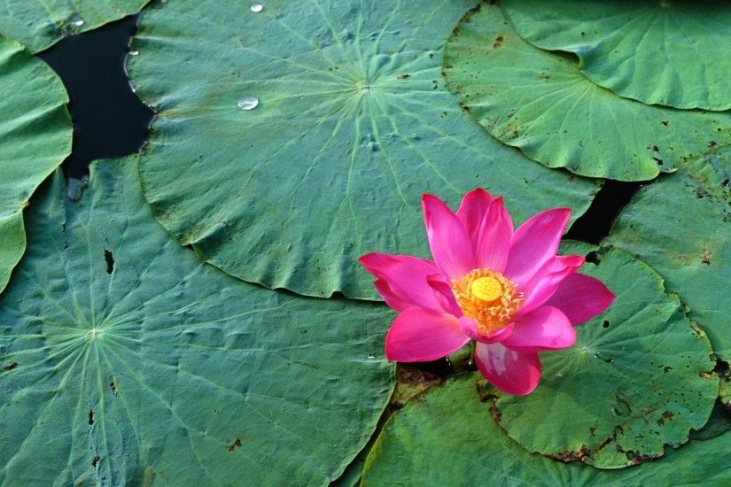 Lotus Flowers Wallpapers - Desktop Backgrounds