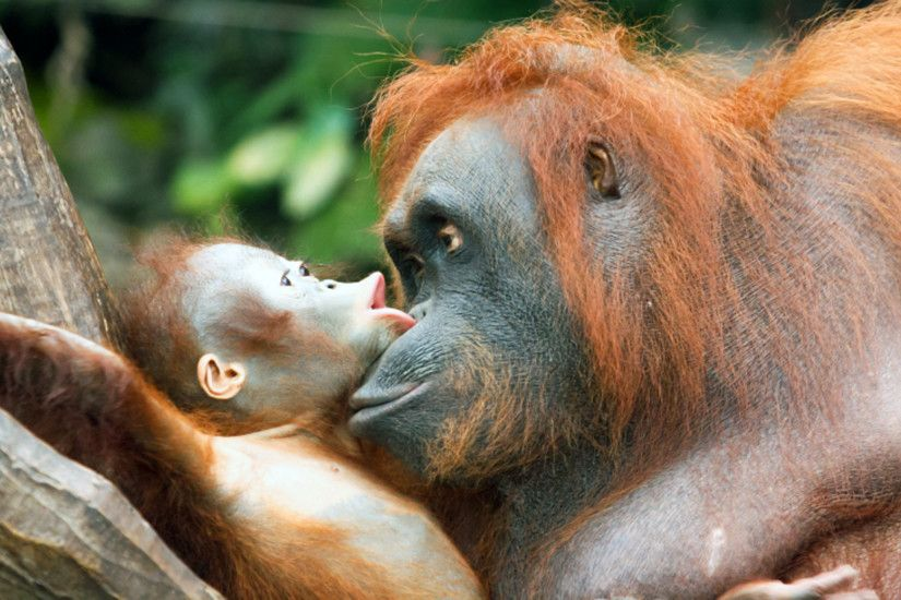 Baby Orangutan HD Picture HD Desktop Wallpaper, Background Image