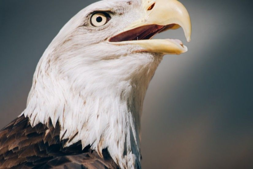 Preview wallpaper eagle, bald eagle, head, beak 2048x2048