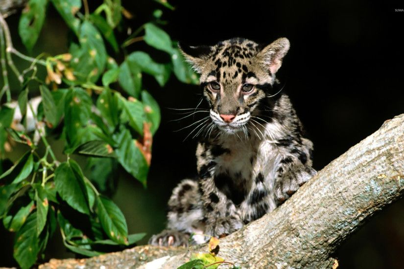 Clouded leopard [3] wallpaper