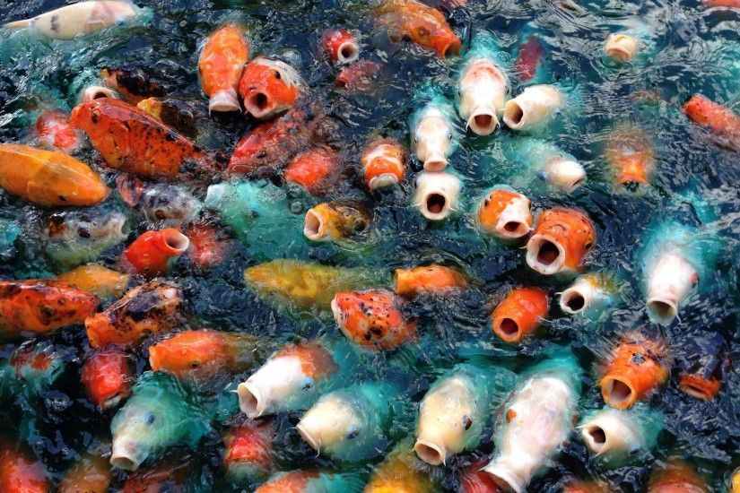 Koi Fish Live Wallpaper Free Download - Koi Fish Live Wallpaper .