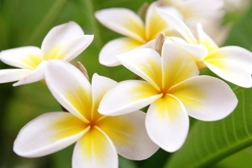 Romantic 4K Plumeria Wallpapers
