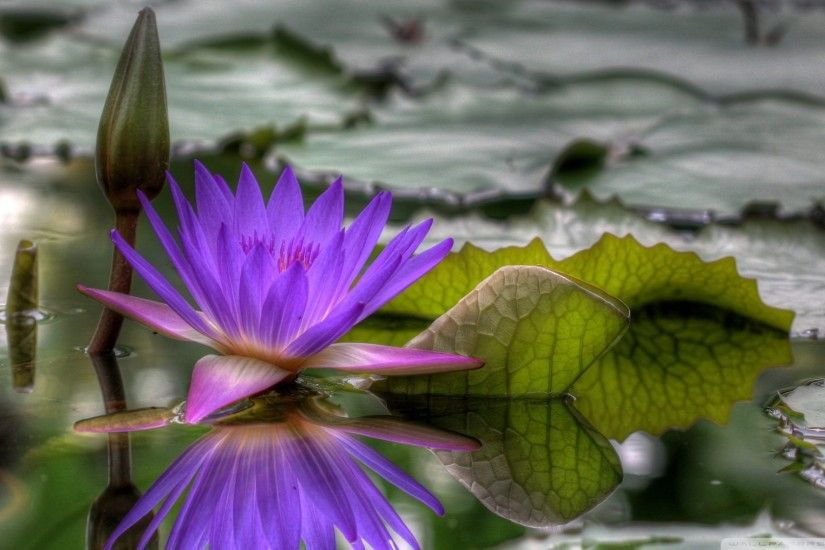 8. lily-pad-flower-wallpaper9-600x338