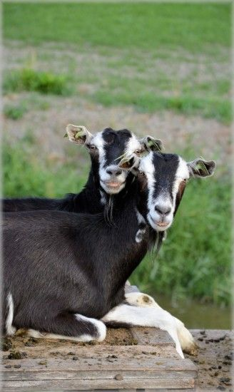 Herd, Goat, Outdoor, Animals, Farm, animal themes, domestic animals