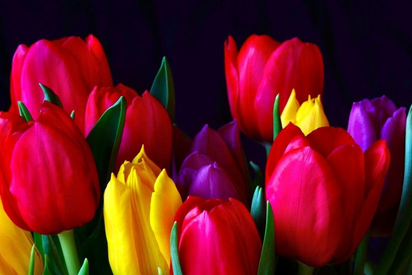 Earth - Tulip Colorful Flower Red Wallpaper