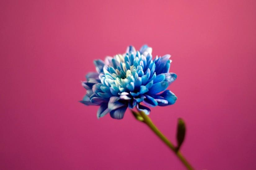 Blue in Pink Background Wallpapers | HD Wallpapers