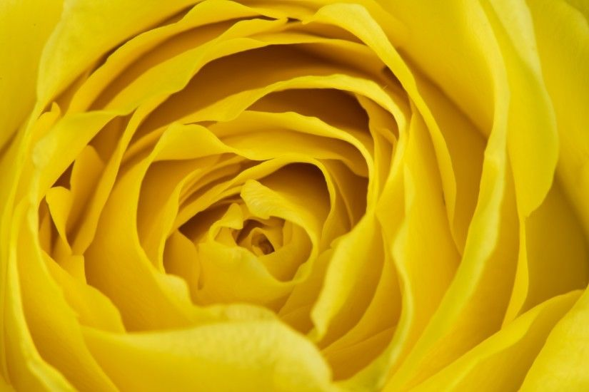 Flowers / Yellow rose Wallpaper