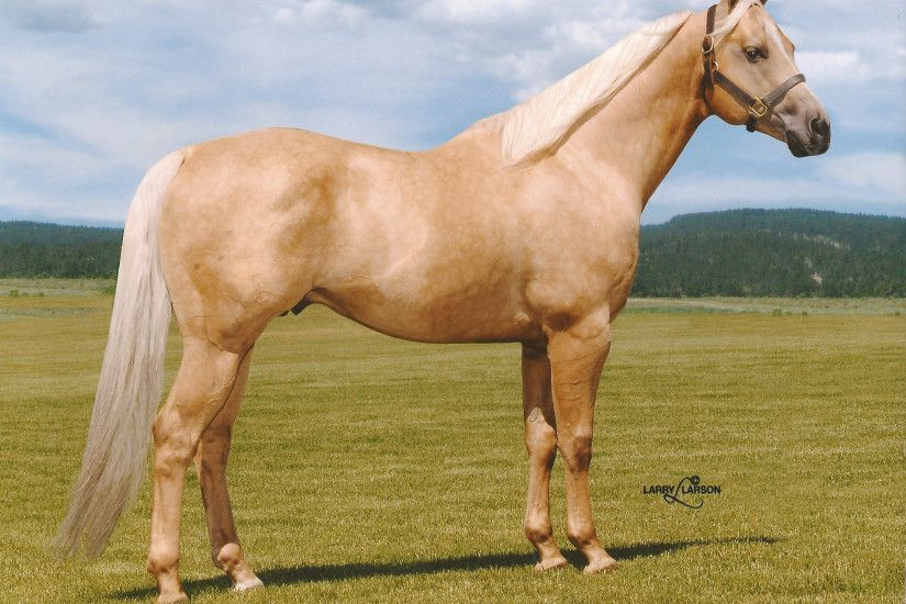 palomino horse. palomino quarter horse stallion frenchmans easy doc unique  stallions pinterest and o