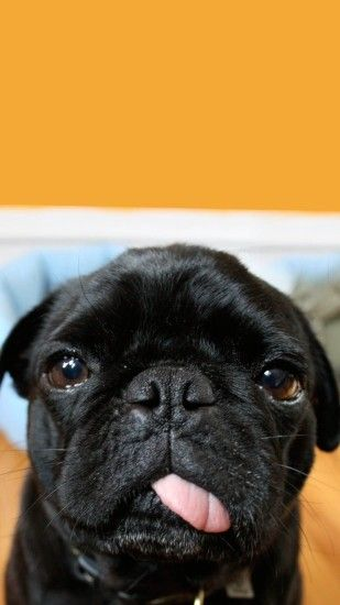 66 Pug Puppies Wallpapers On Wallpaperplay Cute Pugs Black