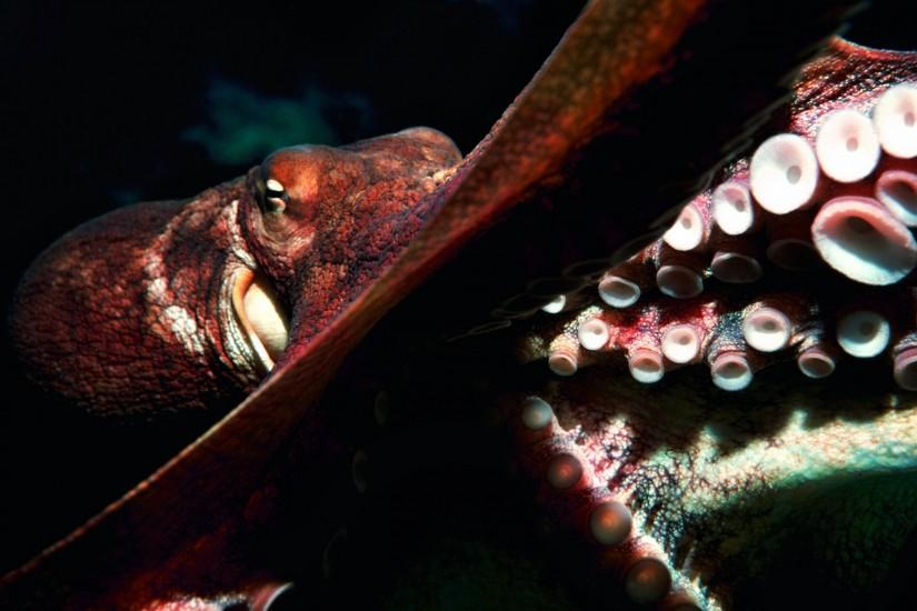 Free Download Octopus Wallpaper.