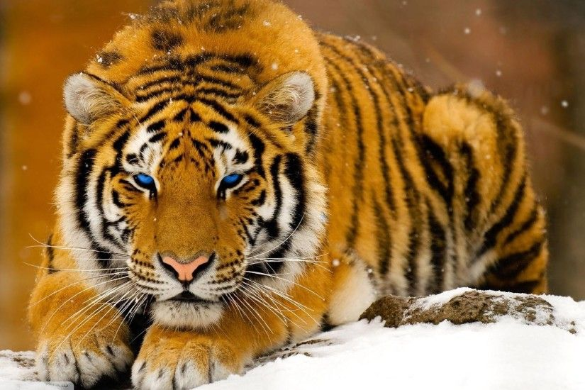 Wild Cats Wallpapers Wallpaper Cave, 3D Wallpaper Big Cats - Tridanim ...