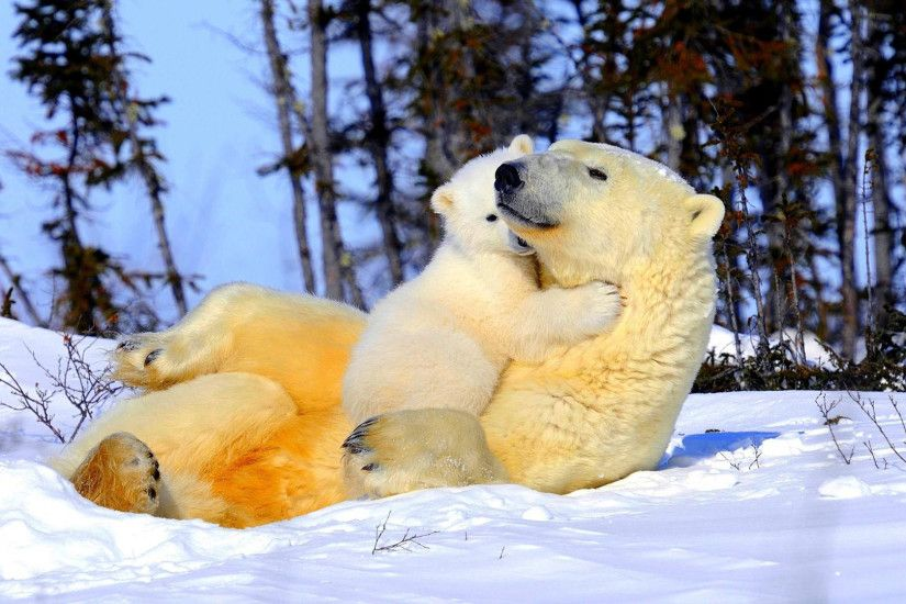 Newborn Polar Bear. Baby Polar Bear Wallpaper