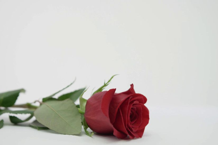 Picking Up Red Rose On White Background Love And Valentines Day Stock Video  Footage - VideoBlocks