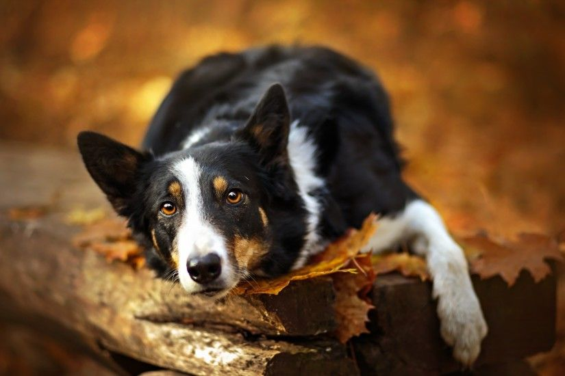 Border Collie 1920x1168 px: High Definition Images