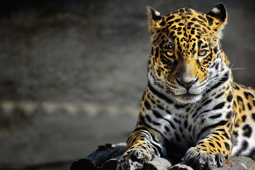 FY-97: Wild Cat Wallpapers, Pictures of Wild Cat HD, ...