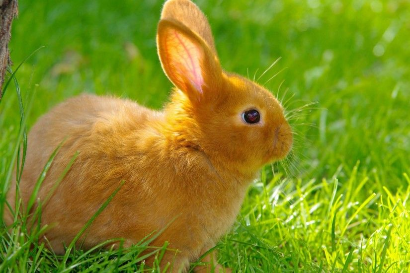 ... bunny HD Wallpaper 2560x1600 Orange ...