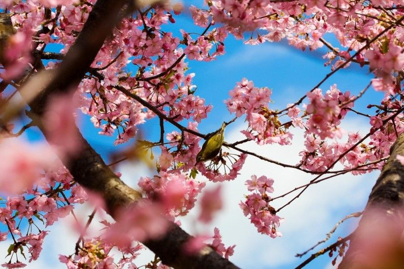 Cherry Blossom Flower Desktop Background Free Download | Places to .