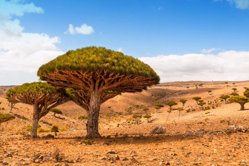 Dragon trees on Dicksam Plateau, Socotra island, Yemen