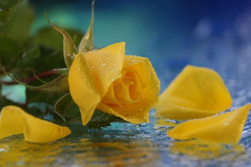 Yellow Rose Flowers Background The Best Flowers Ideas 1920×1080 Yellow Rose  Backgrounds (45