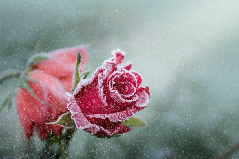 Rose Frost Snowfall
