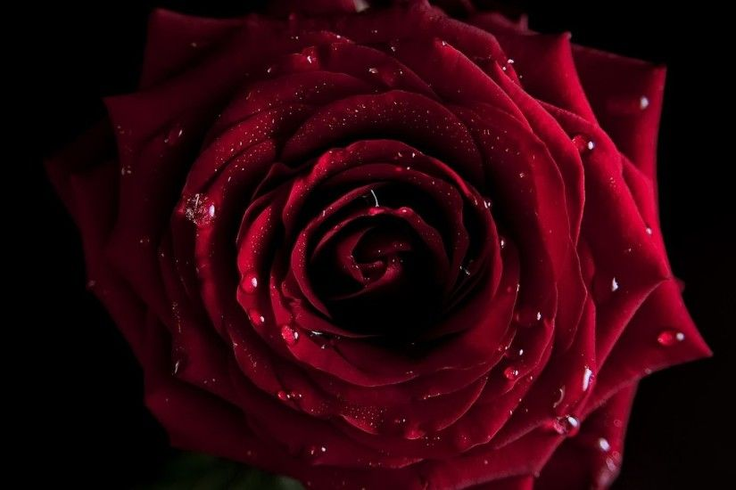 ... Red Rose Wallpaper ...