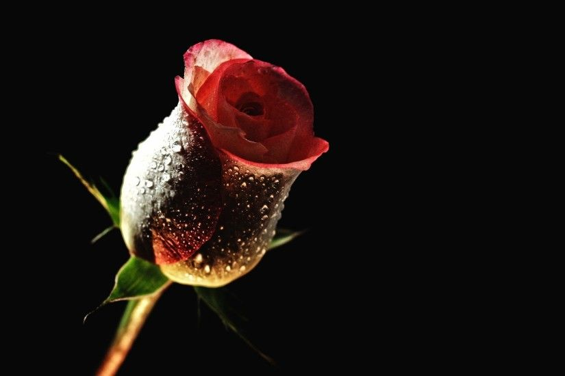 1920x1280 Red Rose With Black Backgrounds Wallpaper