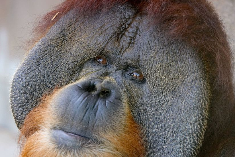 Sumatran orangutan male with cheek pads