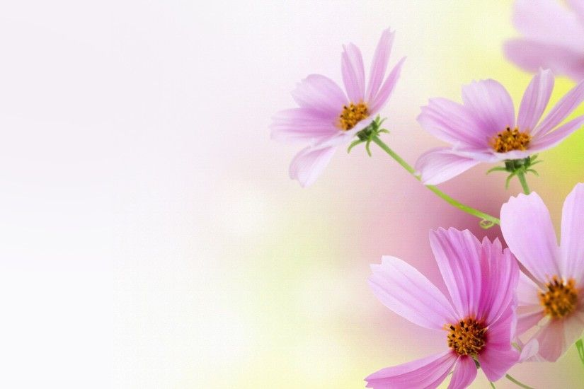 Cosmos Flowers Firefox Persona Spring Pink Daisy Summer Wallpapers Desktop  3d