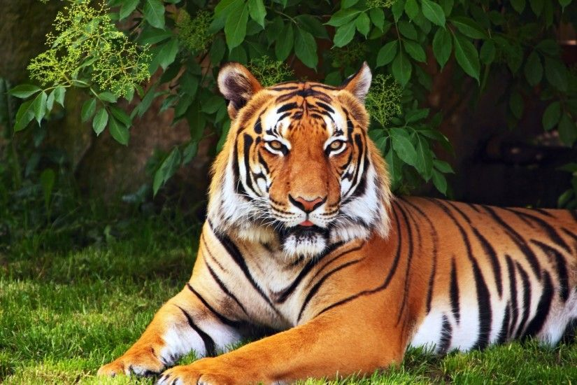 animals tiger tree leaves grass green wallpaper widescreen full screen  widescreen hd wallpapers background wallpaper widescreen