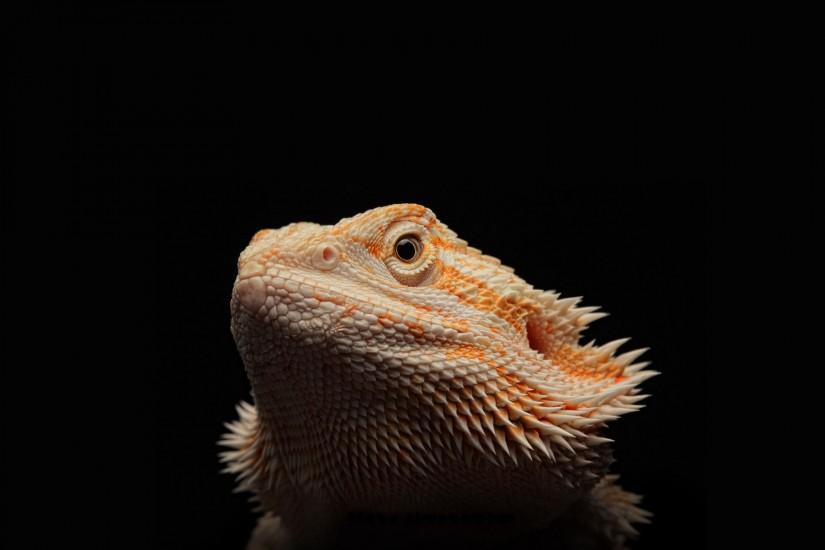 HD Bearded Dragon Background.
