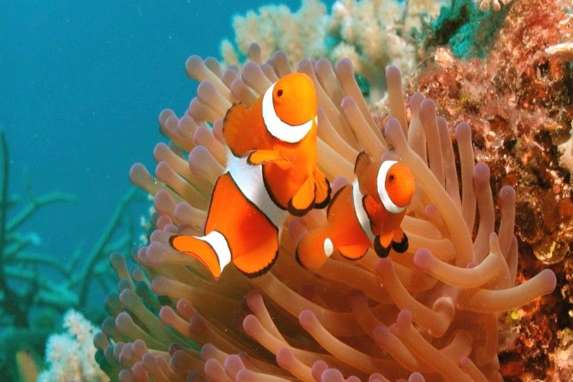 Clown fish picture wallpaper