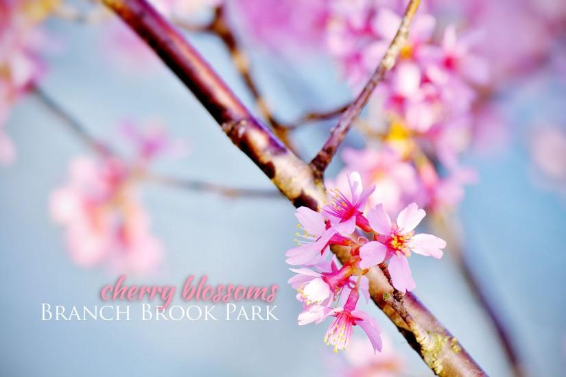 cherry blossom wallpaper 2000x1332 for ipad 2