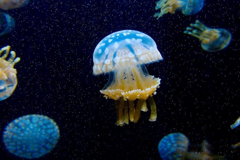 Animal - Jellyfish Wallpaper