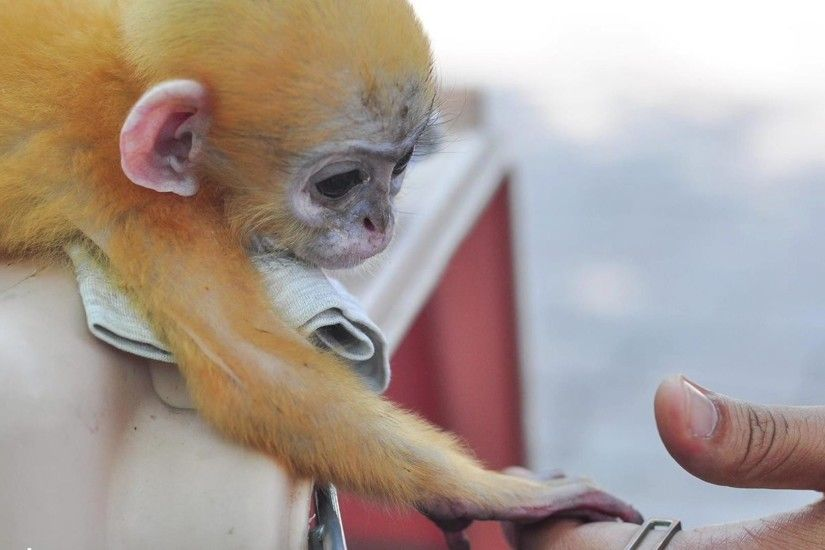 Orphaned Baby Monkey Won't Let Go of Man Who Saved Him