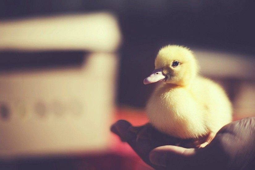 Bird Baby Duck Photo HD Wallpaper - ZoomWalls