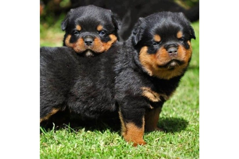 New Baby Rottweiler 4K Wallpaper
