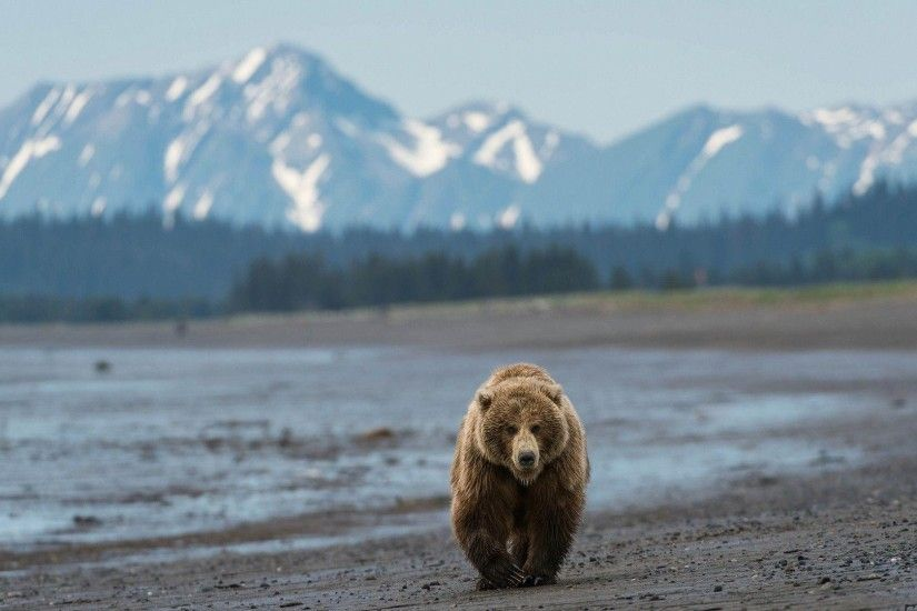 Grizzly Bear, North American Brown Bear Wallpapers