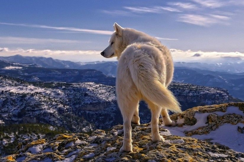Free HD Wolf Wallpapers Wallpaper 1024×768 Wolf Wallpapers Free Download  (59 Wallpapers)