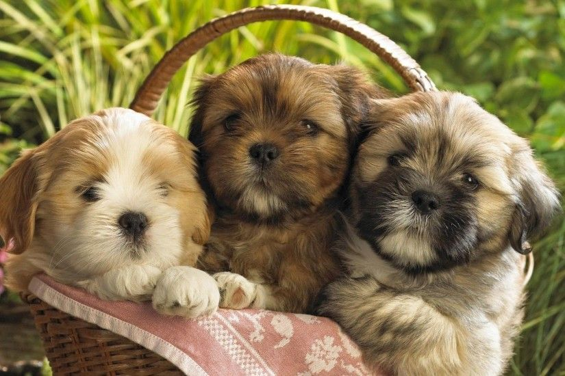 Shih Tzu widescreen wallpapers Shih Tzu Pictures