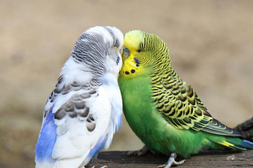 budgie budgies love birds kissing