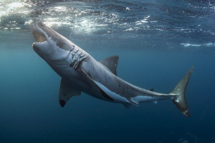 great white shark wallpaper high quality resolution