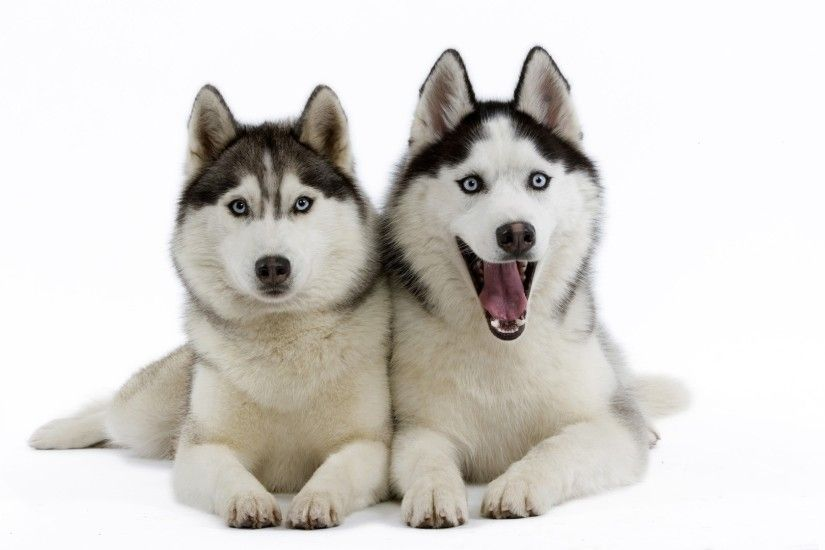 Beautiful Siberian Husky puppies wallpaper 1920x1080 jpg