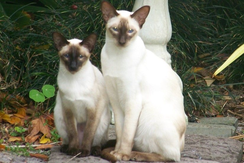 Siamese cats in forest photo