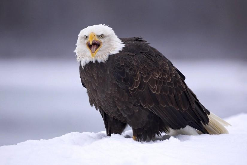 Bald Eagle Wallpaper 559254