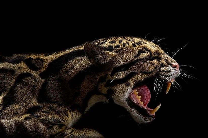 Animals teeth black background clouded leopards wallpaper | 1920x1200 |  260343 | WallpaperUP