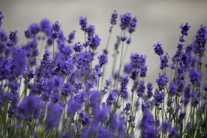 lavender background 1920x1280 pc